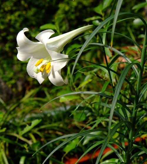 タカサゴユリの花