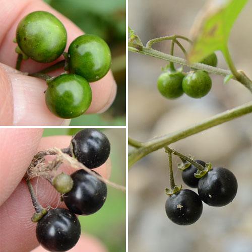 アメリカイヌホオズキの果実