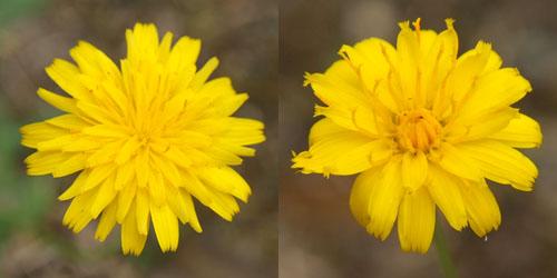 ブタナの花