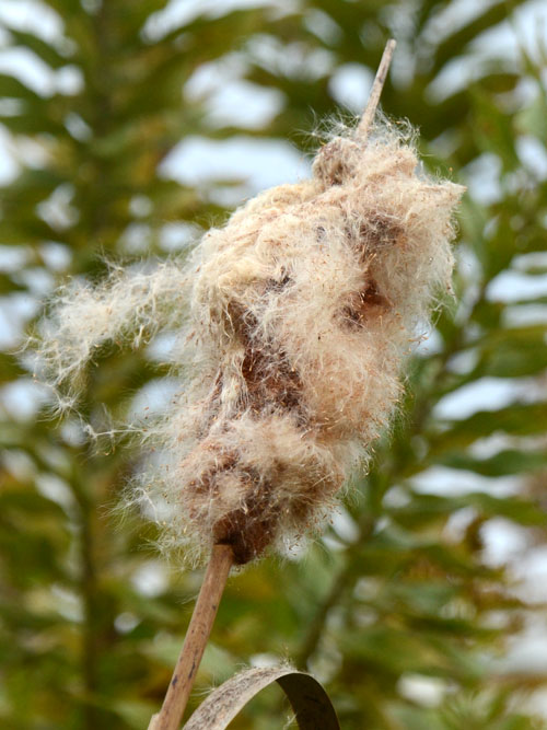 飛散前のガマの穂
