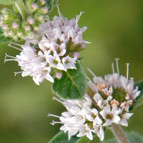 Mentha arvensis piperascens