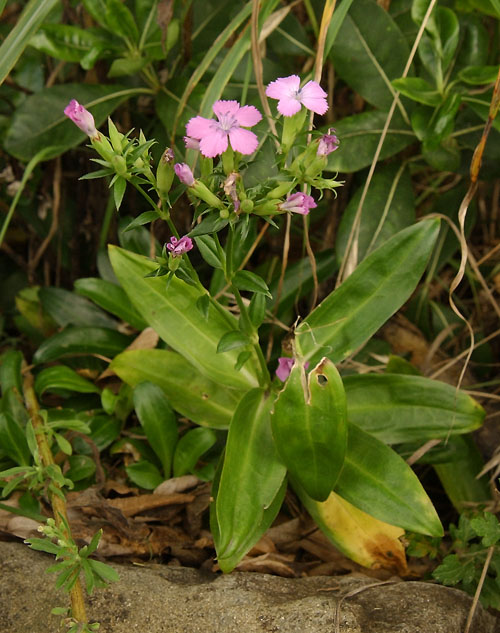 Dianthus japonicus