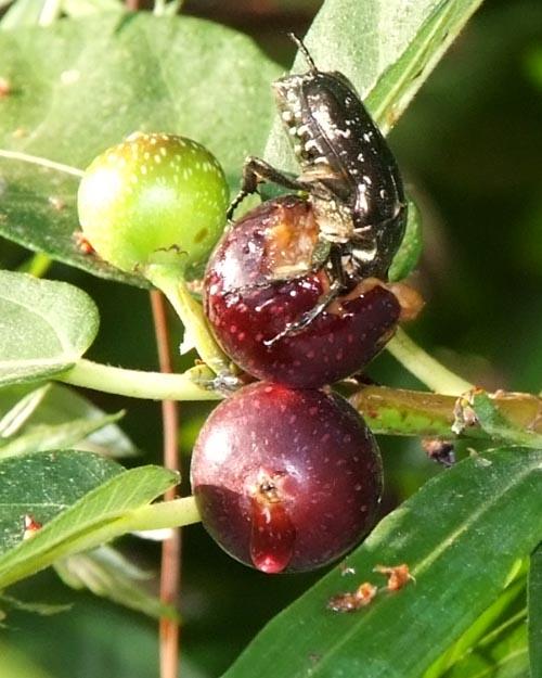 イヌビワ雌木の偽果(食用)