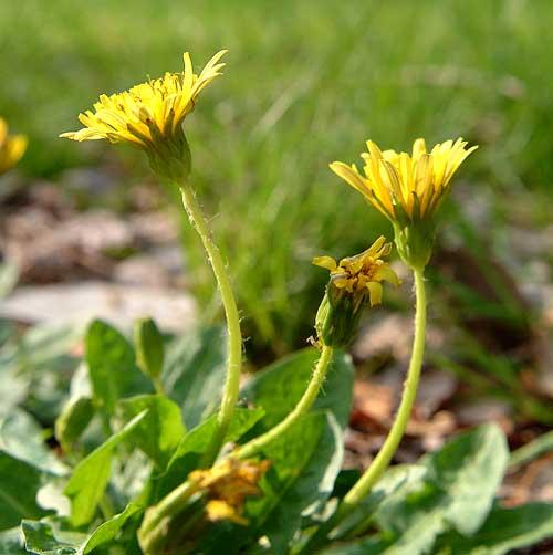 Taraxacum japonicum