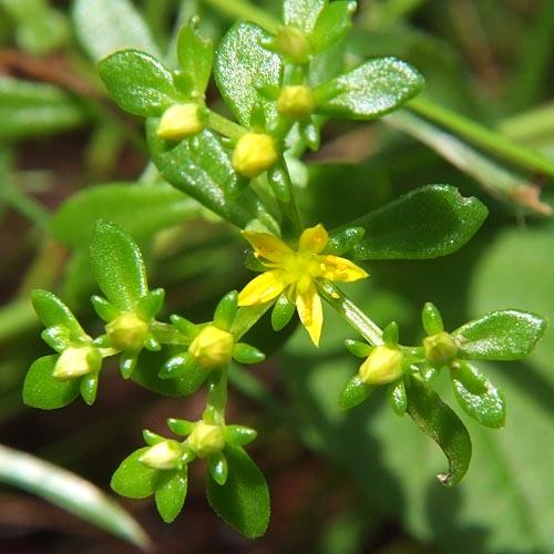 コモチマンネングサの花をさらに拡大