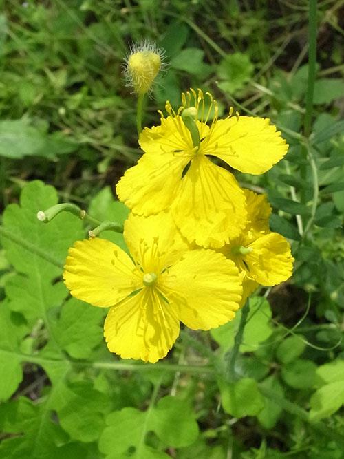 クサノオウの花