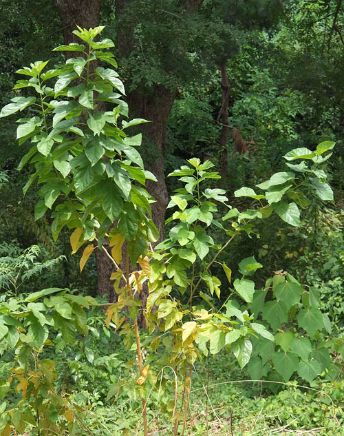 クワの木(幼木)