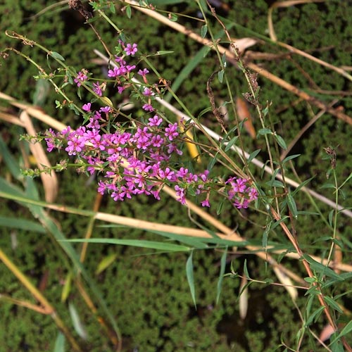 Lythrum anceps