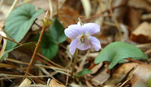 Viola ovato-oblonga