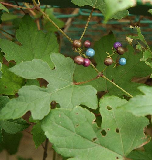 キレハタイプのノブドウ