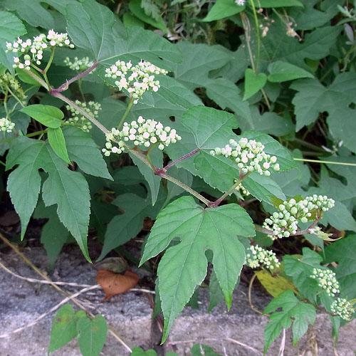 キレハノブドウの花