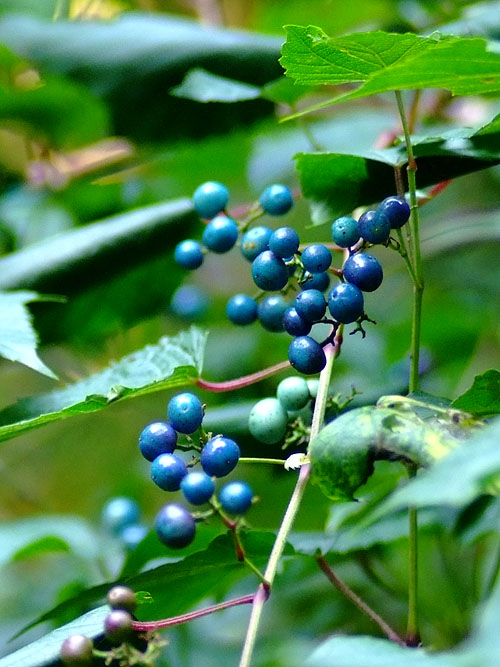 青の多いノブドウ