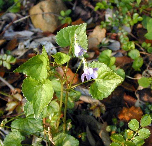 Viola kusanoana