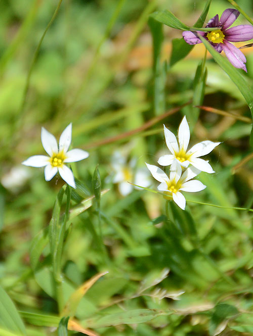 Sisyrinchium sp