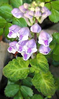Scutellaria indica