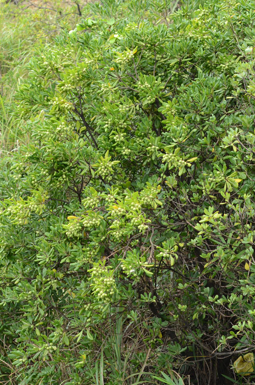 トベラの木