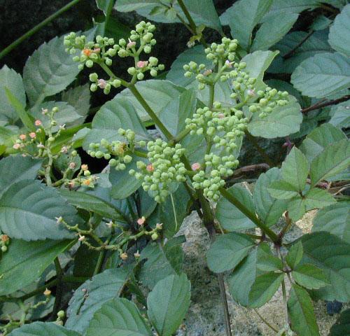 Cayratia japonica