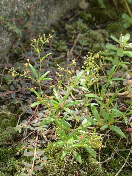 Mollugo pentaphylla
